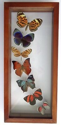 7 Real Butterflies Framed Mounted Double Glass Amazing Rainbow Flight