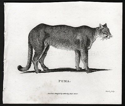 Cougar Puma Mountain Lion Catamount, Rare Antique Engraving Print from 1803