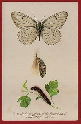 Cadbury's Cocoa Butterfly & Moth Reward Cards 1910 BLACK VEINED WHITE BUTTERFLY