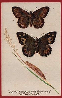 Cadbury's Cocoa Butterfly & Moth Reward Cards 1910  THE GRAYLING BUTTERFLY