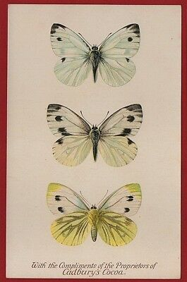 Cadbury's Cocoa Butterfly & Moth Reward Cards 1910 GREEN VEINED WHITE BUTTERFLY