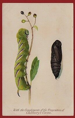 Cadbury's Cocoa Butterfly & Moth Reward Cards 1910   THE PRIVET  HAWK MOTH