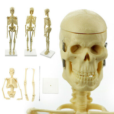 Anatomy Medical Learn Skeleton model Anatomical Stand Poster Aid Human Model