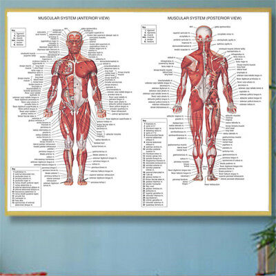 Human Body Muscle System Anatomy Chart Educational Posters Home Decor Silk Cloth