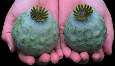 The Giant Poppy - Papaver setigerum - 25+ seeds - HUGE and BEAUTIFUL!
