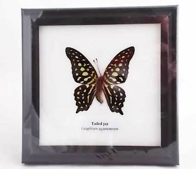 Real Butterfly specimen, Tailed Jay (Graphium agamemnon) in a frame.