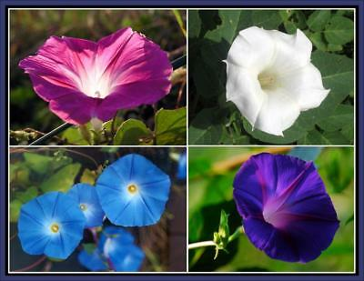 100Pcs Ipomoea Nil Morning Glory Flowers Seeds Rare 37 Kinds Beautiful Flowers