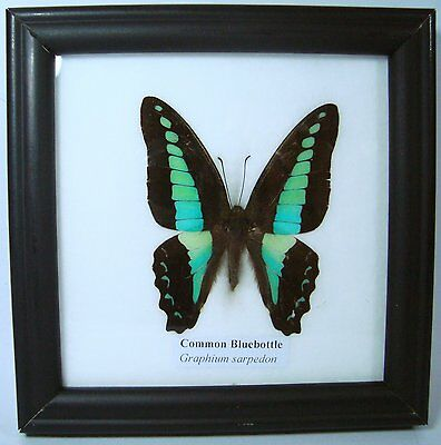 Framed Real Beautiful Common Bluebottle Butterfly Display Insect Taxidermy