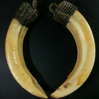 Real Solid 2 Wild Boar Pig Hog Teeth Power Pendant Thai Amulet Magic Tooth Fang
