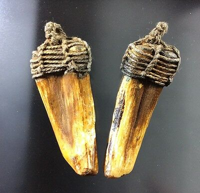 Real 2 Wild Boar Pig Tooth Fang Thai Amulet Mascot Pendant Cameo Power Teeth