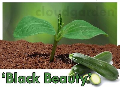 COURGETTE PLANTS x 2 - Black Beauty - PREORDER - vegetable, seedling garden plug