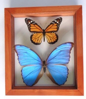 2 Real Framed Butterfly Blue Morpho Didius & Monarch  Mounted Double Glass