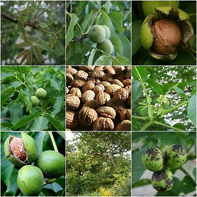 1Pc Walnuts Pecan Tree Seeds Rare Viable Bonsai Plants in Home decor Gardens
