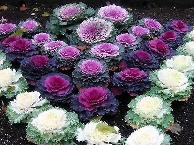100PCs Ornamental Kale Seeds Cabbage Rare 6 Colors Heirloom Plants in Decor Home