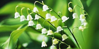 100PCs Lily Of The Valley Convallaria majalis Flower Seeds Rare Beautiful Plants