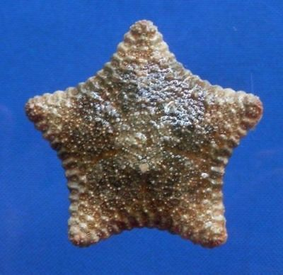 Gems Under the Sea 77360 Cushion Star Culcita novaeguineae 61 mm