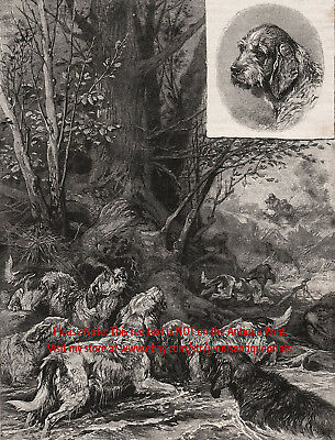 Dog Otterhound Pack Hunting Otters, Rare View 1890s Antique Print & Article 2