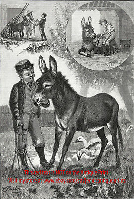 Veterinary History, Nursing Lame Donkey Back to Health Large 1890s Antique Print