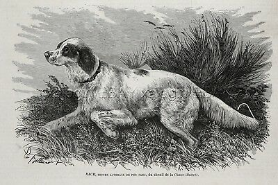 Dog Llewellin English Setter (Named) Hunting Dog, 1870s Antique Engraving Print