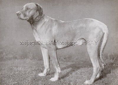 DOG Rhodesian Ridgeback Champion (Named) Portrait, Vintage Print 1930s
