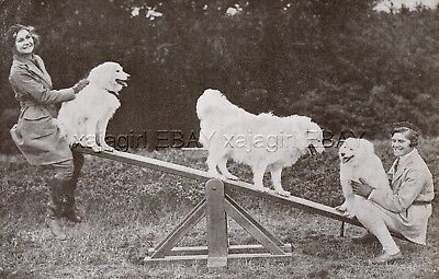 DOG Samoyed Doing Agility on Seesaw Teeter-Totter (Named), Vintage Print 1930s