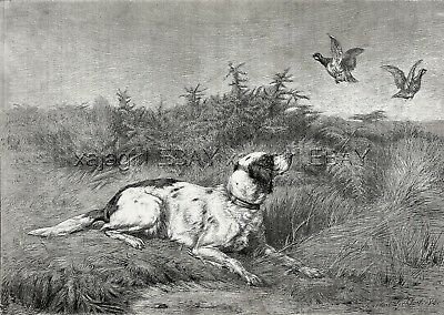 English Setter or Red And White Flushing Patridge, Large 1880s Antique Print