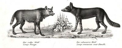 Wolf Red Wolf & Black Wolf, Antique 1842 Engraving Print (170 Years Old)