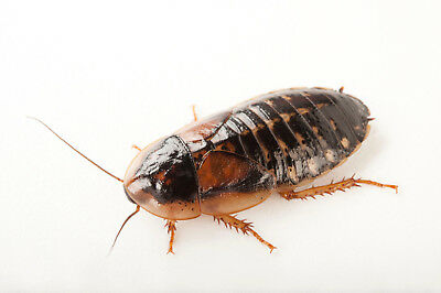 Adult/sub Adult Live Dubia Cockroaches Bulk Bag Of 50 Free Delivery