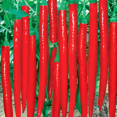 10 seeds -Indian Long chilli seeds up to 10 inch