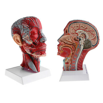2pcs Lab/Medical Equipment - 1:1 Median Section of Human Head Model Toy