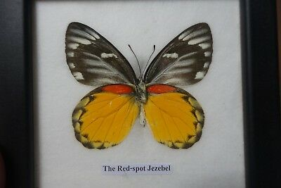 Very Rare The Red--Spot Jezebel  Butterfly Display Insect Taxidermy In Framed