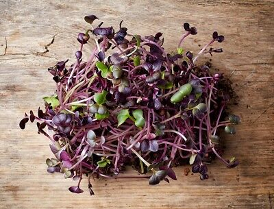 """Sprouting seeds - Radish """"Red Purple"""""""