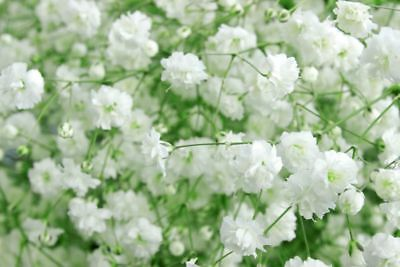 Baby's breath, common gypsophila, panicled baby's breath - 1200 seeds