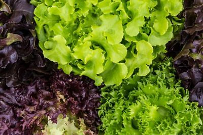 Lettuce variety selection - 450 seeds