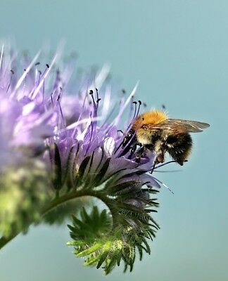 Lacy phacelia - 50 g of  for aftercrop - 30000 seeds
