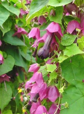 Rhodochiton Purple Bell  - Rhodochiton atrosanguineus - 6 seeds