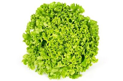 """Lettuce """"Rekord"""" - frizzled leaves - 900 seeds"""