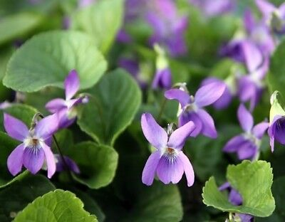 Sweet Violet, English Violet  - Viola odorata - 120 seeds