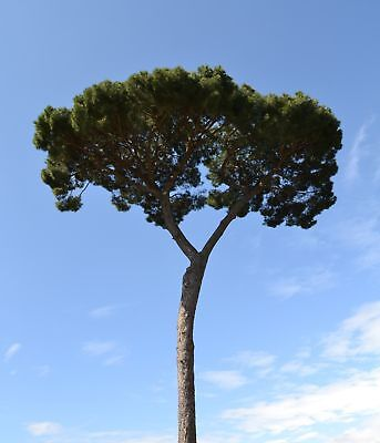 Stone pine - produces pine nuts  - seeds