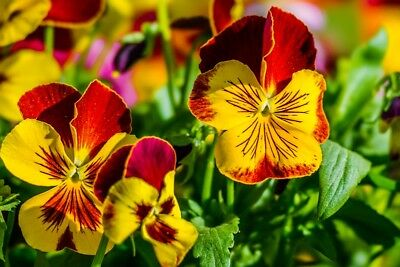 "Garden pansy ""Cats"" - 10 seeds"