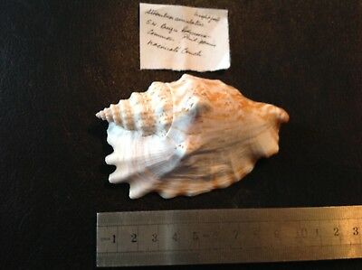 Strombus simulatus shell with information. 10 cm.