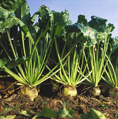 Sugar Beet - 250 / 1500 / 3000 Seeds - Beta vulgaris