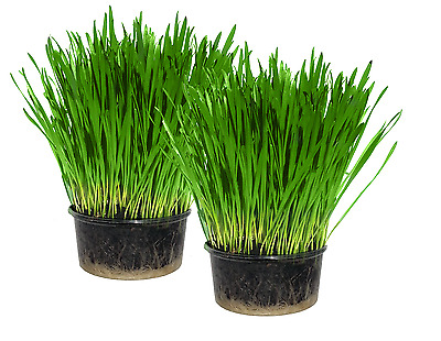 Cat Grass x2 (Twin pack)- Easy Grow your own kit - UK Seed - Indoor Kitty Grass