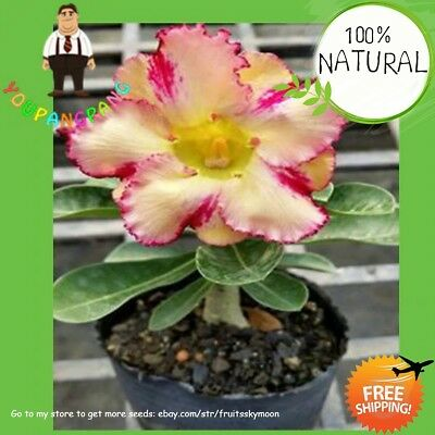 Desert Rose Yellow Seeds Plants Petals With Streaks Ornamental Red 1pcs/lot