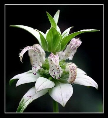 bee balm, spotted, 100 seeds, RARE PERENNIAL! white flower