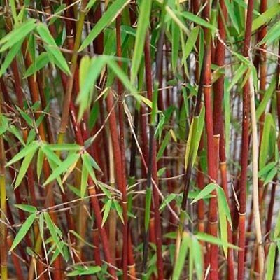 BAMBOO FARGESIA SCABRIDA ASIAN WONDER live screen 1-2 STEMS CLUMP