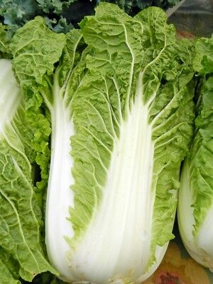 Michihili, Chinese Cabbage Seeds, NON-GMO, Variety Sizes, FREE SHIPPING