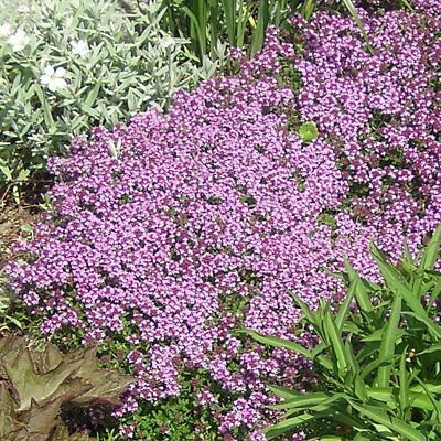 Creeping Thyme Seeds, Heirloom, NON-GMO, Variety Sizes, FREE SHIPPING