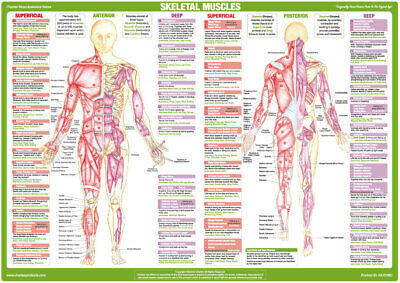 Muscle Anatomy Body Building Poster Human Skeleton Medical Chart