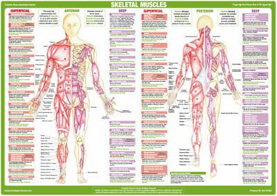 Muscle Anatomy Chart Human Body Deep and Superficial Muscle Poster